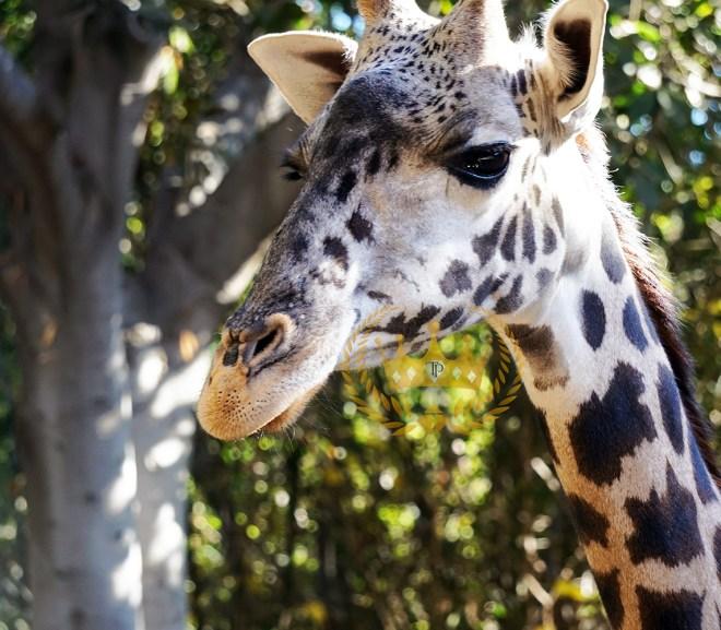 Gorgeous Giraffe Closeup - Wildlife and Nature Photography by Toni Payne