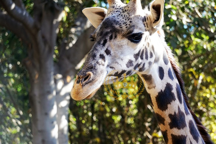 Gorgeous Giraffe Closeup  - Wildlife and Nature Photography by Toni Payne
