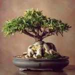 Willow-Leaf-Ficus-c.-1965-150x150.jpg