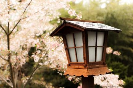 Cherry blossoms-4