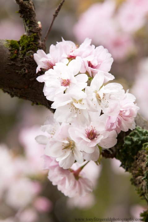 Cherry blossoms-6