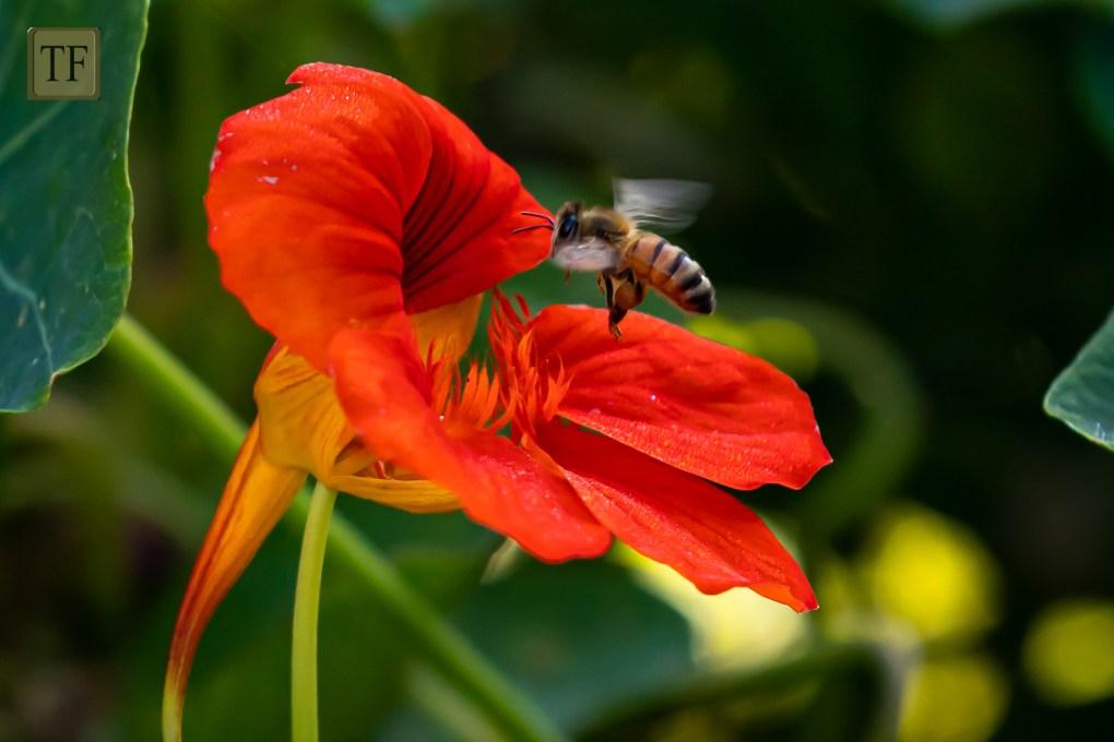 honey bee on orange nasturtium flower