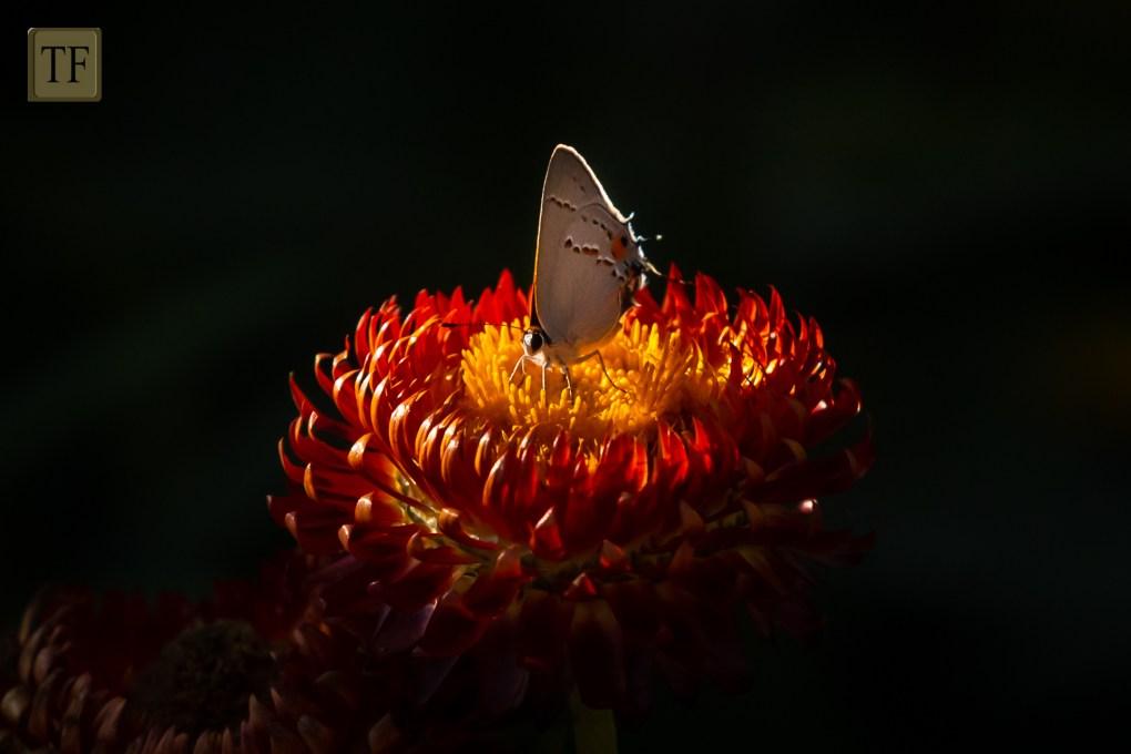 Grey Hairstreak butterfly