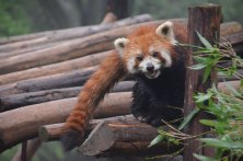 Chengdu-Red-Panda-2