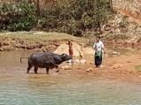 Buffalo washing