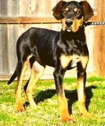 Great Dane Rottweiler Mix Puppy
