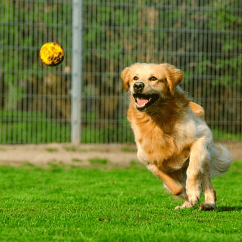 golden retriever fetch