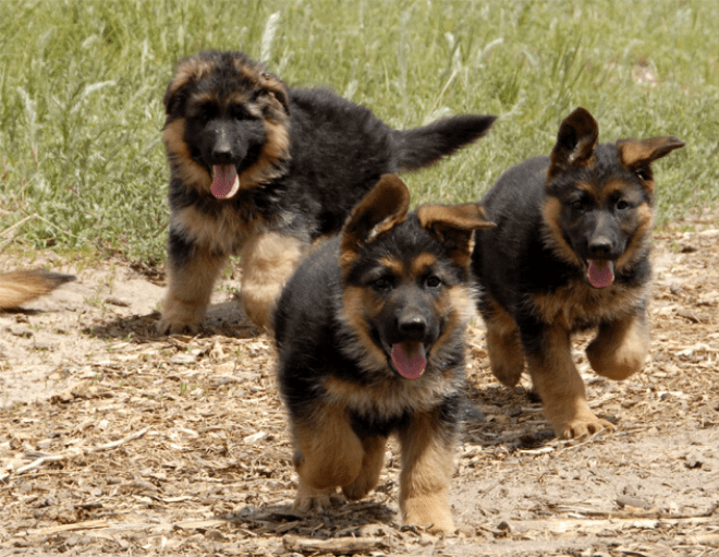 3 GSD puppies