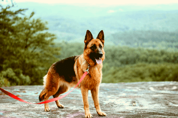GSD with collar and leash