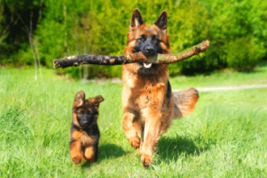 german shepherd with puppy