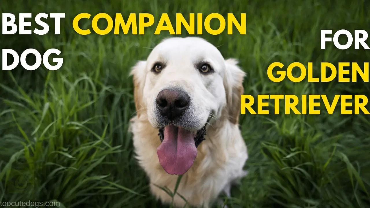 Best Companion Dog For Golden Retriever