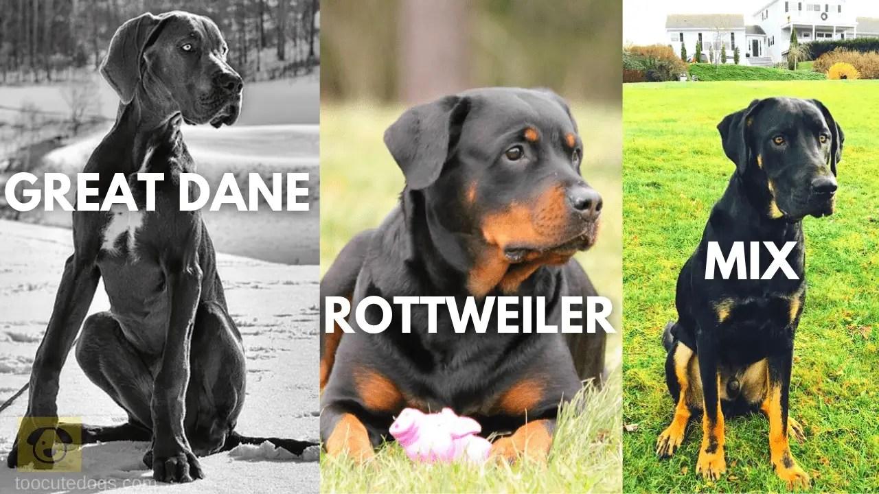 great dane rottweiler mix