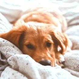 golden retriever sleeping