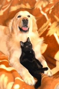 golden retriever and a cat