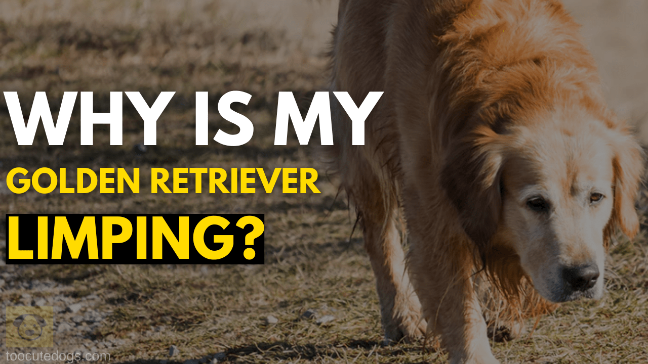 Why Is My Golden Retriever Limping