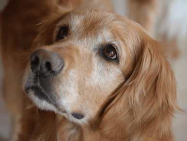 golden retriever white around eyes