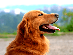 golden retriever with tongue out