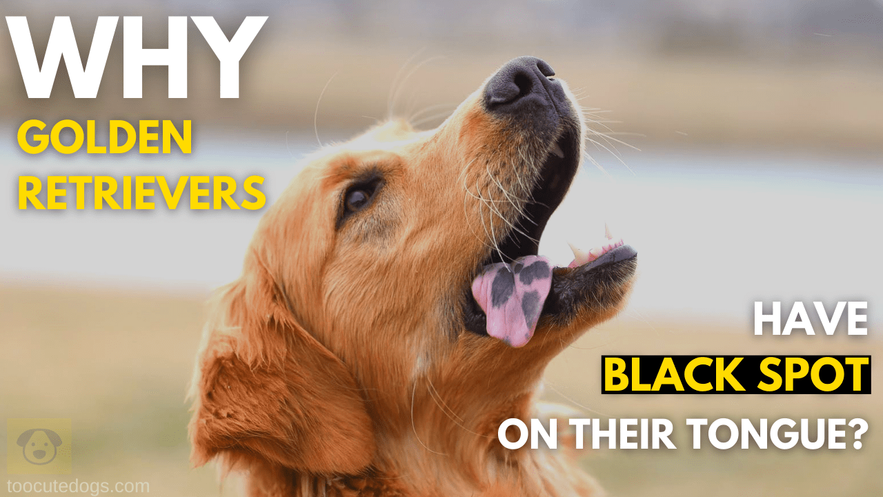 Why Golden Retrievers Have Black Spot On Their Tongue