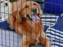 golden retriever in a dog crate