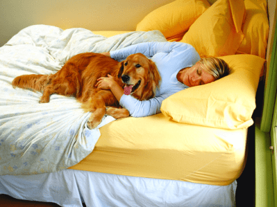 Golden Retriever In Bed With Owner