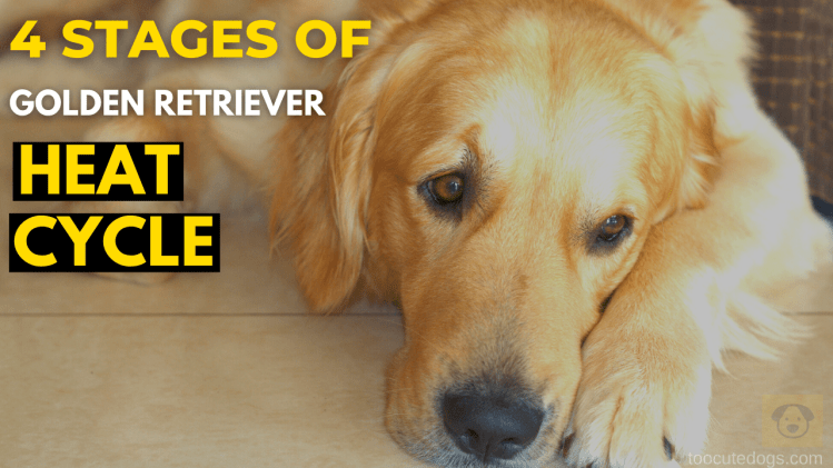 4 Stages Of Golden Retriever Heat Cycle