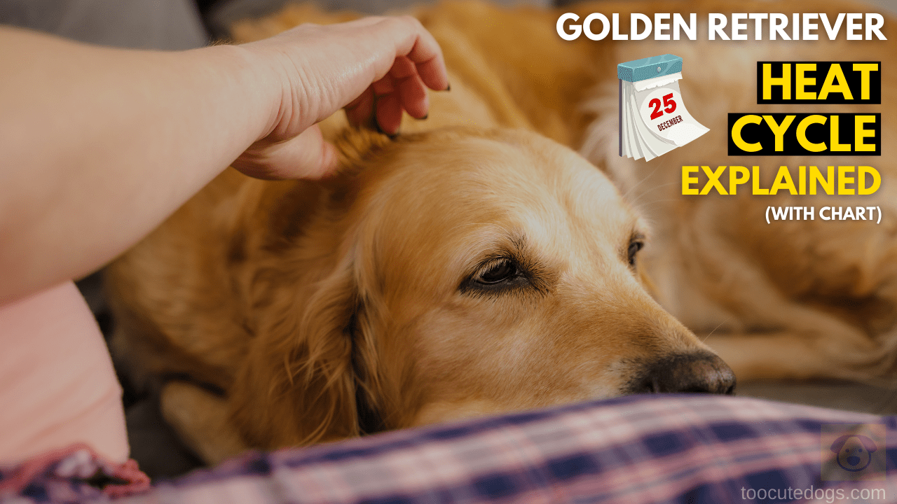 Golden Retriever Heat Cycle