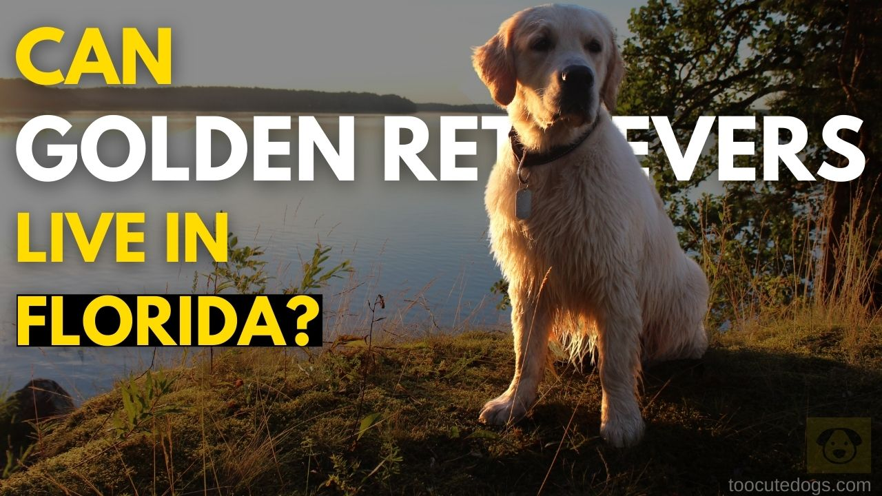 Can Golden Retrievers Live In Florida