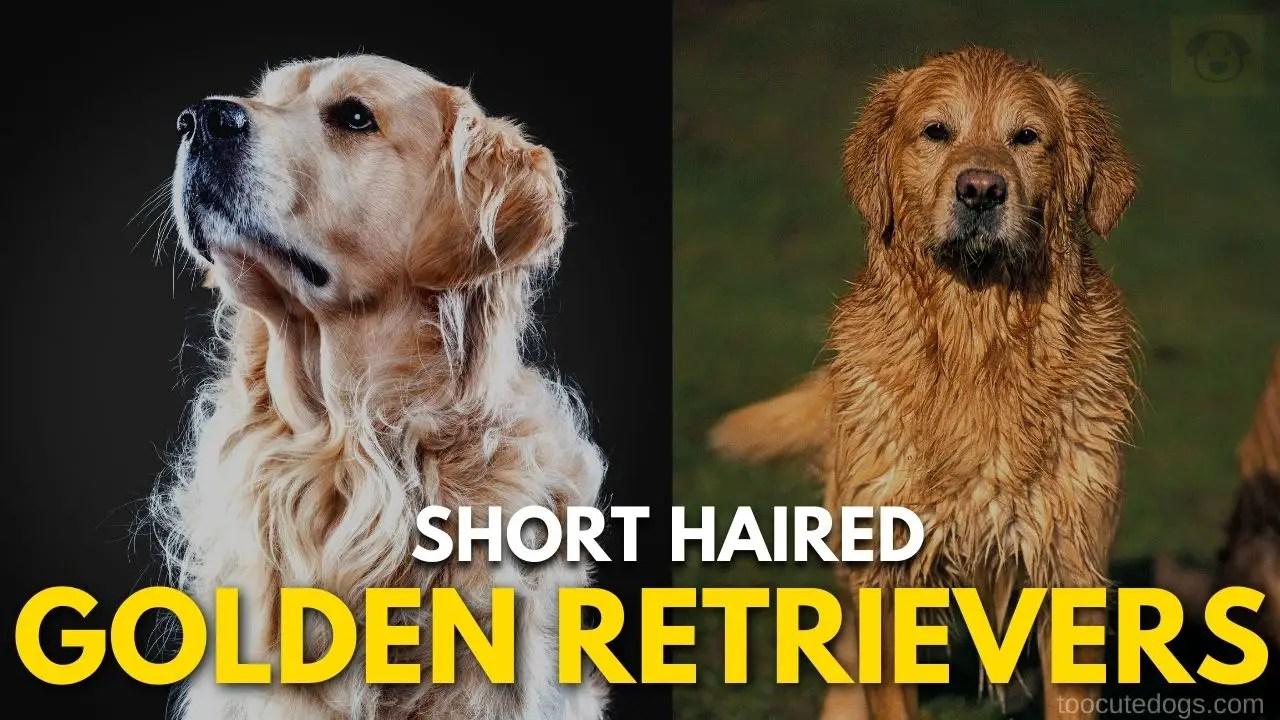 Short Haired Golden Retrievers