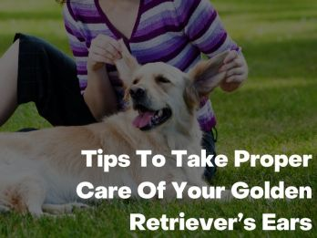 Tips To Take Proper Care Of Your Golden Retriever's Ears