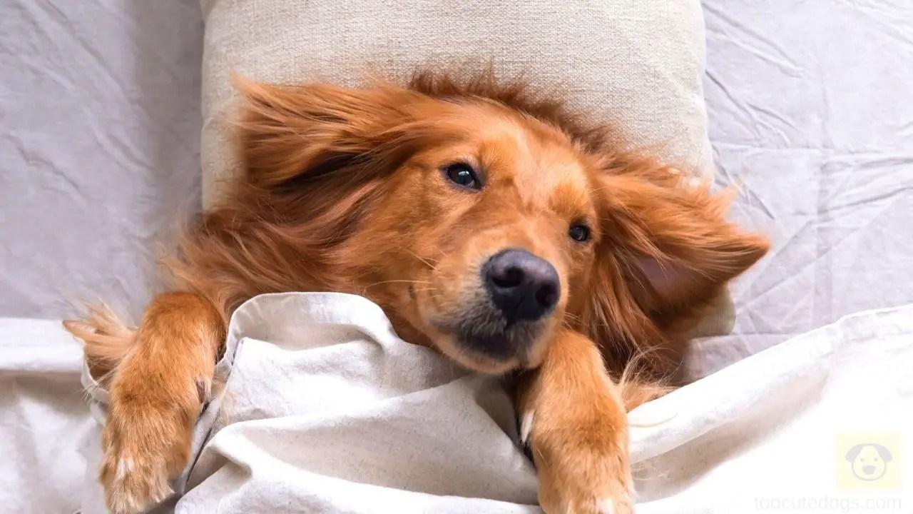 Why Does My Golden Retriever Sleep So Much