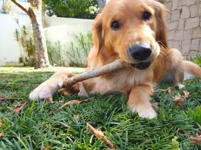 golden retriever chewing stick