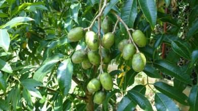 Photo of Pokok Kedondong Boleh Jana Elektrik?