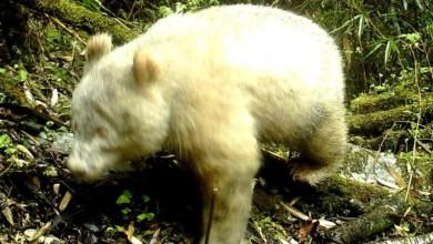 Photo of Panda Serba Putih Bermata Merah Ditemui Di Dalam Hutan