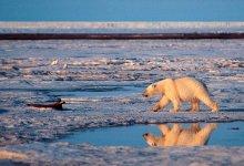 Photo of Beruang Kutub Memakan Satu Sama Lain: Normal Atau Tidak?
