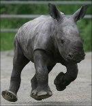 graceless-rhino