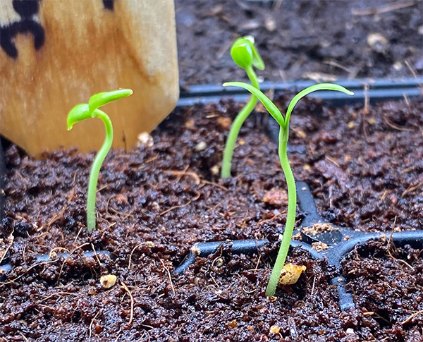 Jalapeno Seedlings 2020