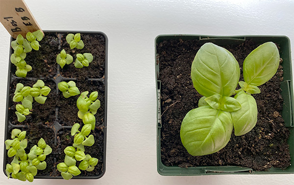 2020 Seed Starting Experiment Basil After Repotting