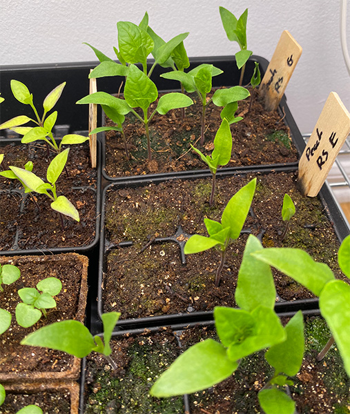2020 Seed Starting Experiment Sugar Rush Peach Hot Pepper Early Before Transplanting