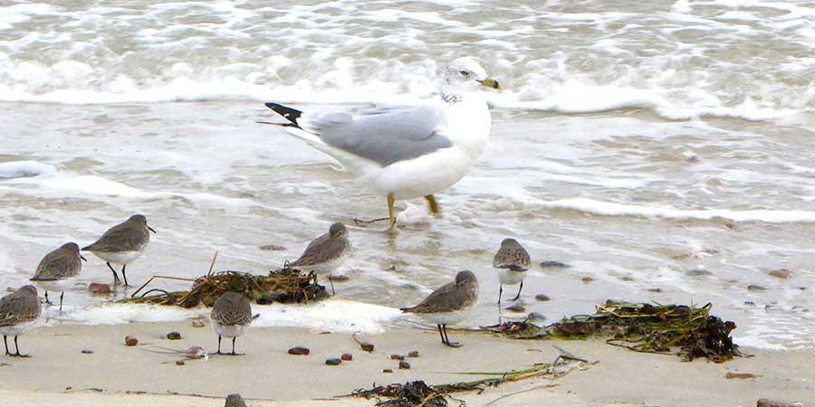 Gull Plover White Supremacy