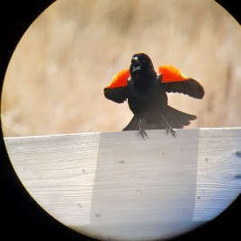 A Red-Winged Blackbird puffs up his feathers and sings with his mouth open on a wooden railing.