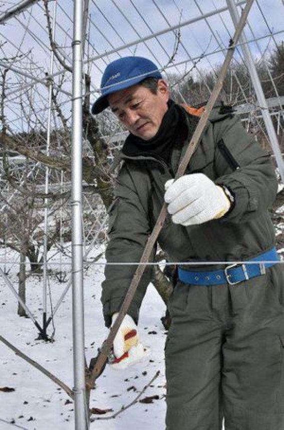 高さ3メートルほどに伸びたジュノハートの苗木を枝切りする山本さん=2018年12月30日午後、南部町下名久井