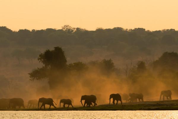 African elephant herd at sunrise, Chobe