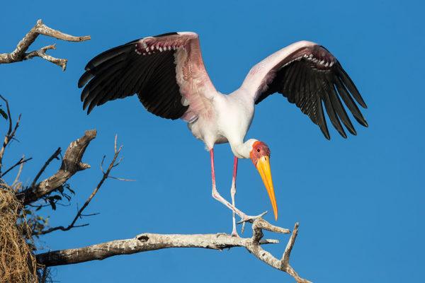 Yellowbilled stork from Chobe photo boat
