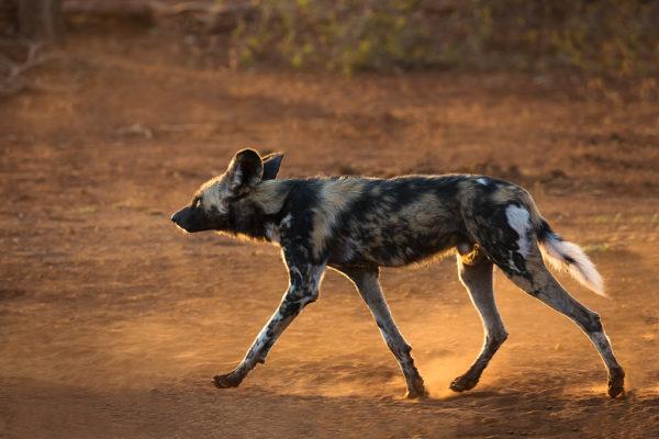African wild dog, Zimanga photo safari