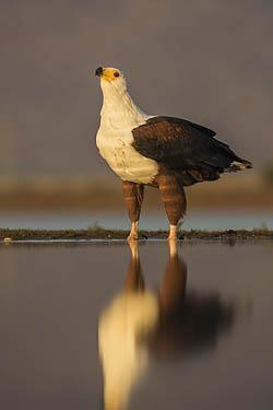 African fish eagle, Zimanga lagoon hide