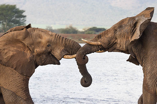 African elephants (Loxodonta africana) wrestling, Zimanga private game reserve, KwaZulu-Natal, South Africa, June 2016
