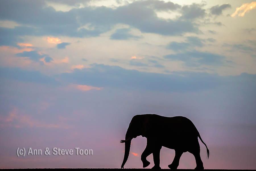 African elephant bull at dusk, Zimanga