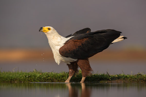 African fish eagle (Haliaeetus vocifer) drinking, Zimanga private game reserve, KwaZulu-Natal, South Africa, September 2016