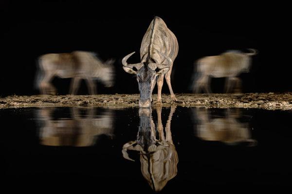 Common (blue) wildebeest (gnu) (Connochaetes taurinus) drinking at night, Zimanga private game reserve, KwaZulu-Natal, South Africa, September 2016