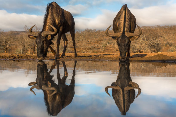 Common (blue) wildebeest (gnu) (Connochaetes taurinus) with reflection at waterhole, Zimanga private game reserve, KwaZulu-Natal, South Africa, September 2016